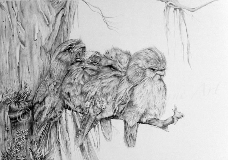 Tawny Frogmouth Family Series
