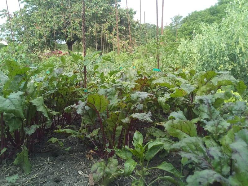 Compagnonnage de légumes