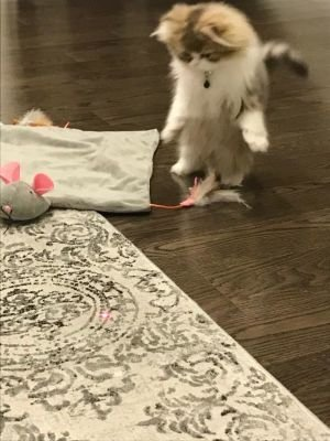 Persian Kittens For Sale - Teacup Kittens For Sale