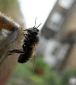 Urban Beekeeping in London