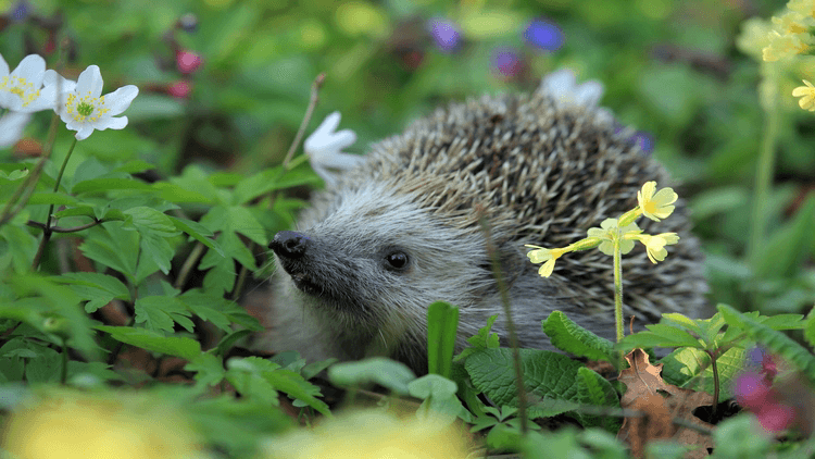 Hedgehog among plants