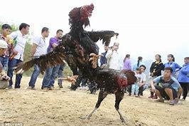 cockfight attract