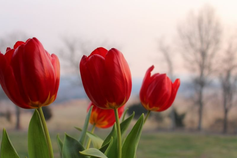 Red Tulips - Our most popular photograph!