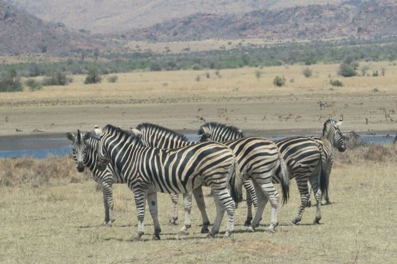 Zebras while on safari in Pilanesberg National Park