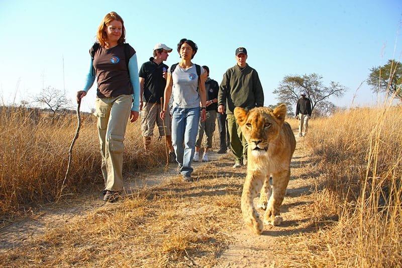 Walking with lions . Lion park - Big6 Safaris