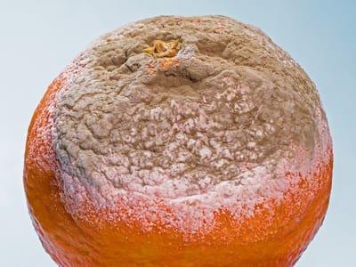 Mycose (schimmel)