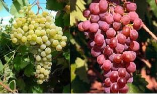 Λευκό κρασί Νεμέας