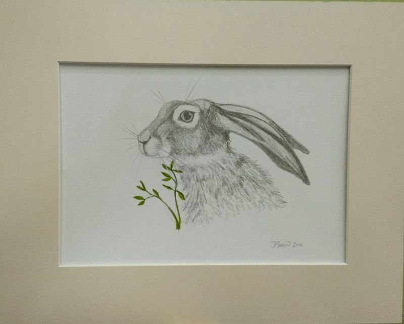 sketch of hare