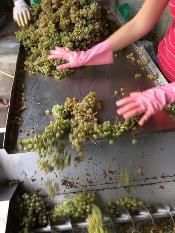 How we select only the best quality grapes and process them