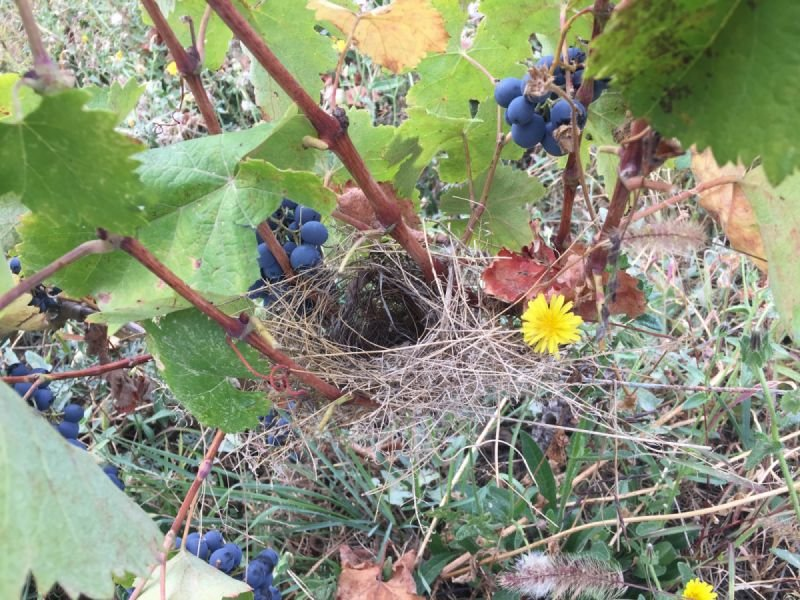 Birds nest in the vine