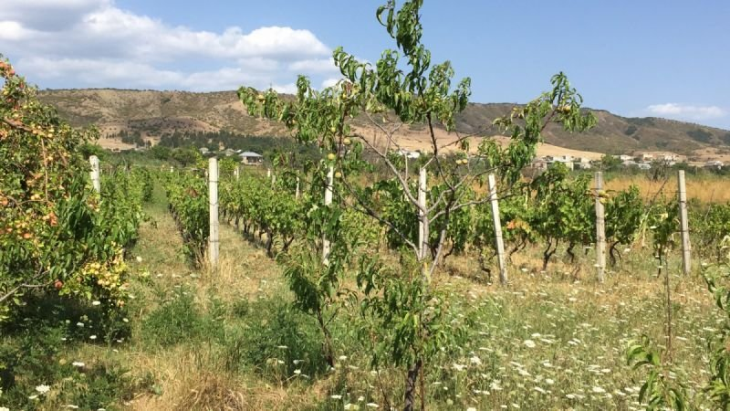 Our Organic vineyard