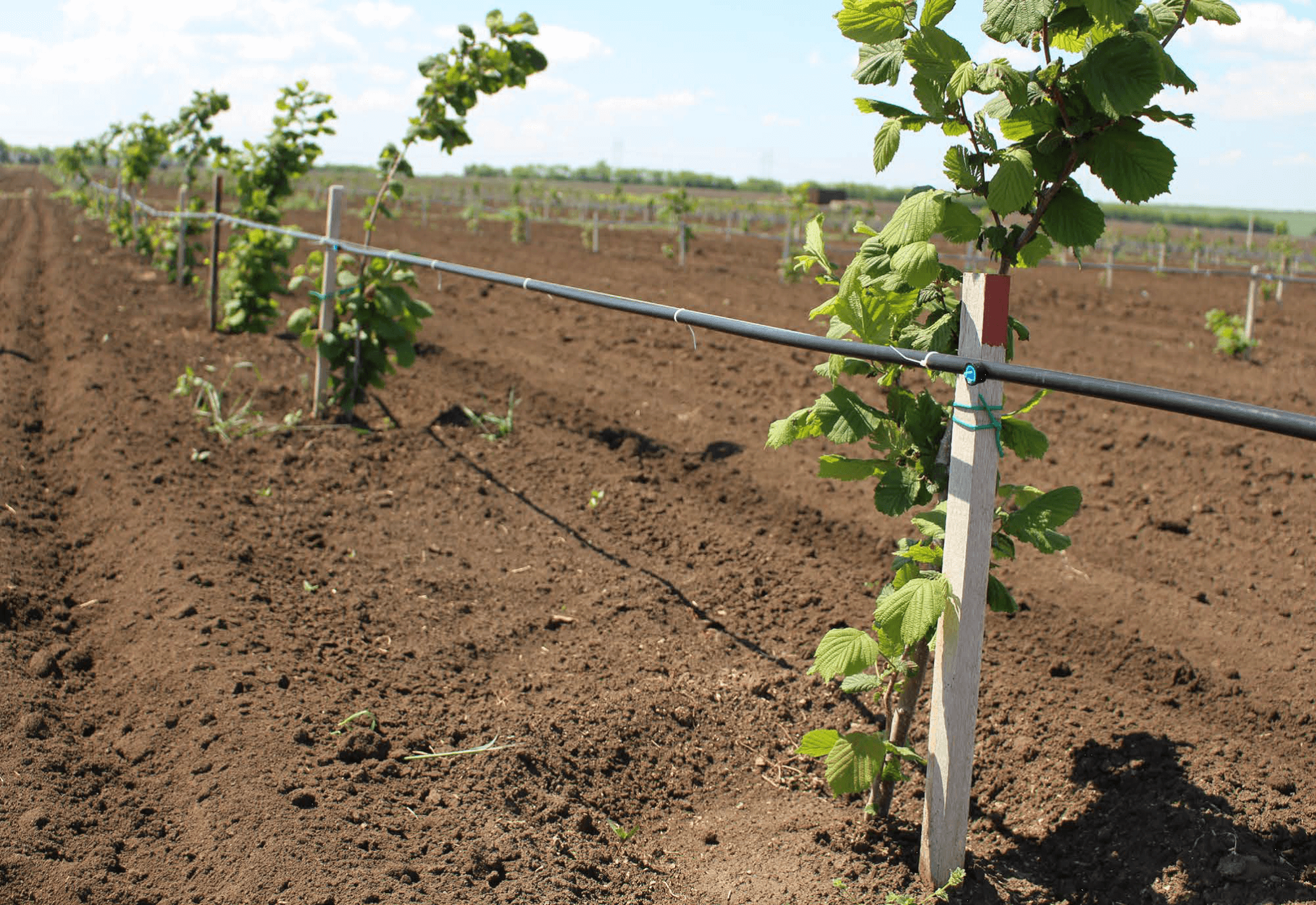 Условия для выращивания фундука