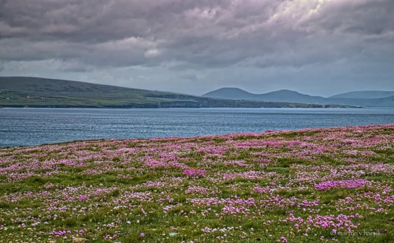 Thrift flowers on Downpatrick Head