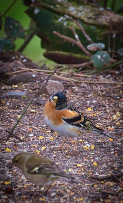 A male Brambling, perhaps blown too far west by the winter storms