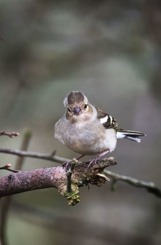 The easily overlooked but photogenic female Chaffinch