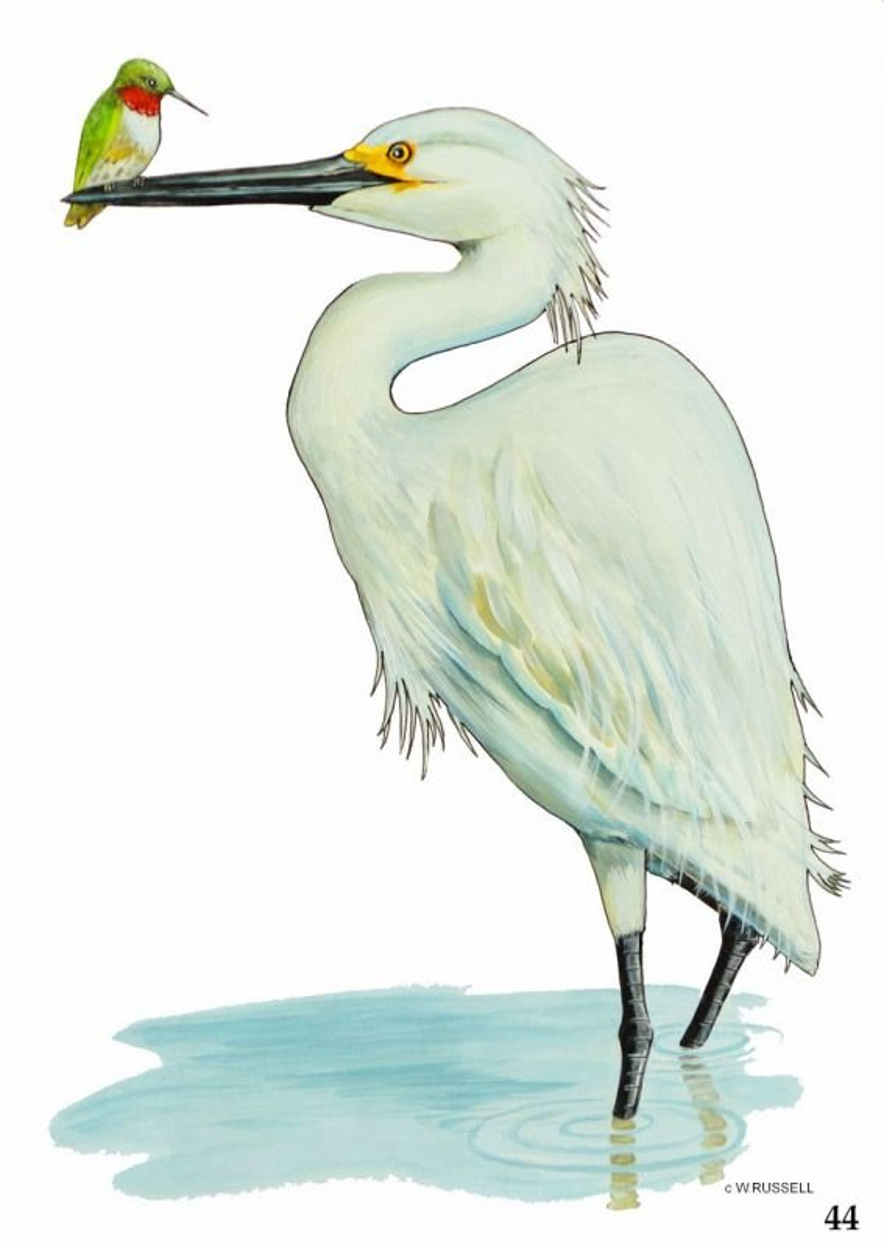 The Boss Egret and Hummingbird
