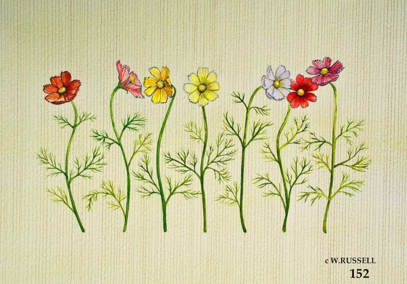 Row of Cosmos Flowers