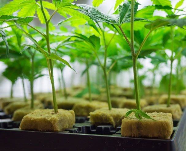 Know How to Invest in the Right Cannabis Seed?