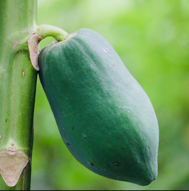 Green Papaya – The Miracle Fruit -My Healing Journey