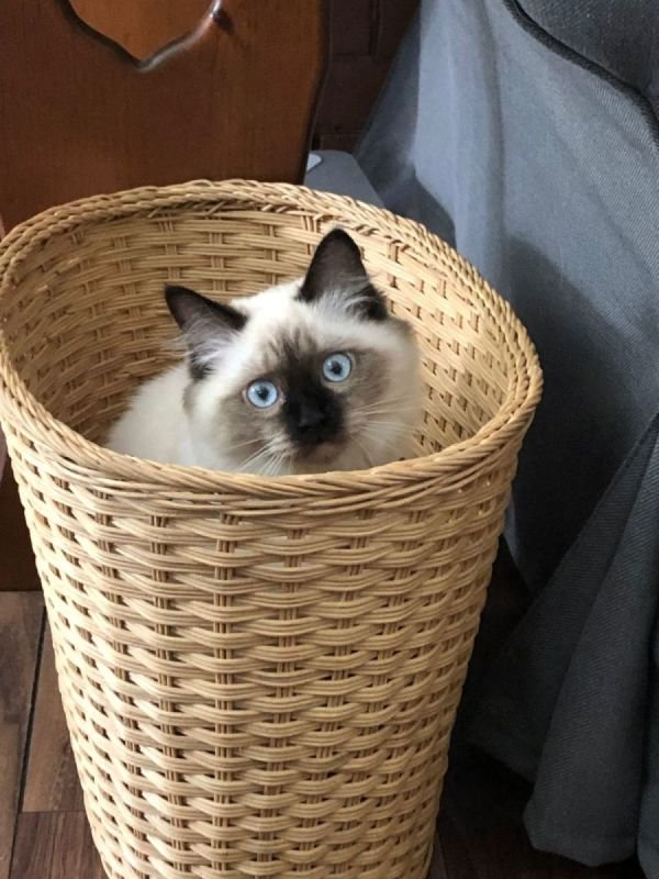 Molly is our newest intern!  She is a ragdoll kitten - many people with cat allergies are fine with ragdoll cats - and loves to snuggle with those clients who enjoy having a purring ball of fluff in their laps.