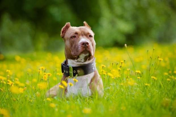 A Few Things that You Must Know Regarding Those Pitbull Bully Breeders