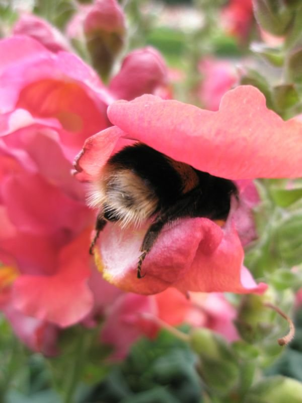 Photographic Study of Bumble Bee, part of a series for solo exhibition in Stratford upon Avon, England