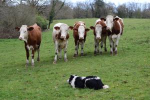 Le Border Collie se déclare de manière innée en adoptant la position de midi : sans ordre il se place naturellement à l'opposé de son maître, face au troupeau