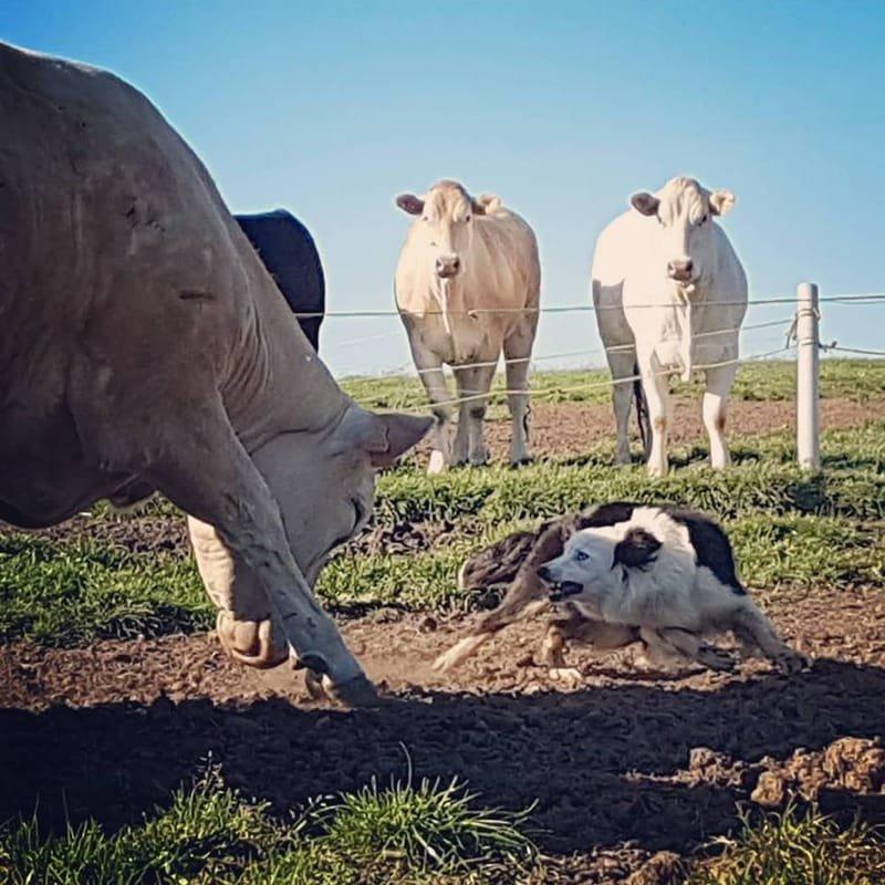 vache têtue / chienne encore plus